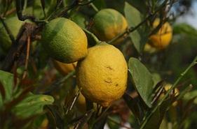 quelle variété de citronnier planter à la ciotat